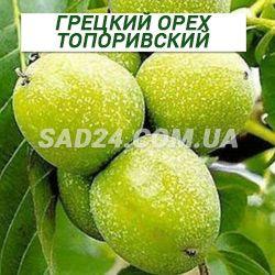 Саженцы грецкого ореха Топоривский двухлетний